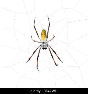 Golden Orb-web spider in spider web, Nephila inaurata madagascariensis, against white background - Stock Photo