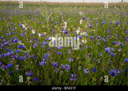 Extraordinarily flowery strip fields, full of Cornflowers Centaurea cyanus, white campion, Grande Piano, Monte Sibillini - Stock Photo