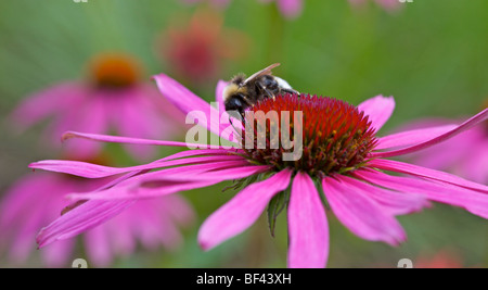 Echinacea Purpurea with a very contented Bumble bee in Yorkshire, UK - Stock Photo