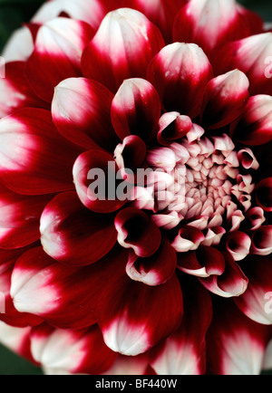Dahlia checkers ball decorative round ruffled type closeup macro photograph detailed deep dark orange petals - Stock Photo