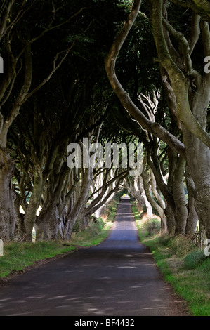 Tree lined road avenue lane The Dark Hedges arch arched Bregagh Road near Armoy Stranocum County Antrim  Northern - Stock Photo