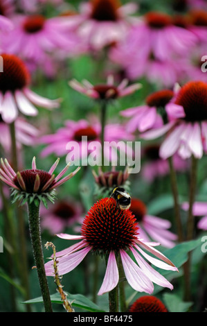 bumble bee feeding on Echinacea purpurea 'kims knee high' purple display bloom blossom perennial summer herbaceous - Stock Photo