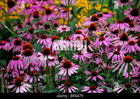 large bed of Echinacea purpurea 'kims knee high' purple display bloom blossom perennial summer herbaceous border - Stock Photo