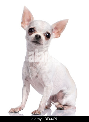 White chihuahua, 3 years old, sitting in front of a white background, studio shot - Stock Photo