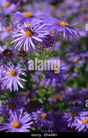Beautiful summer border of purple Aster, Michelmas Daisies - Stock Photo