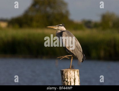 Grey Heron Ardea cinerea, sitting on post, Norfolk Broads. - Stock Photo