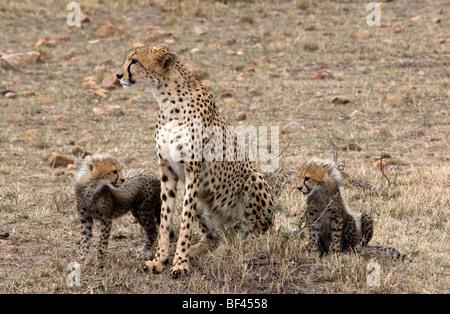Cheetah family hunting - Stock Photo