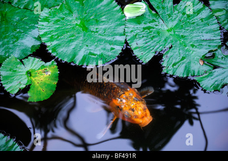 orange color colored koi carp in a small pond lily pads leaves garden design feature water - Stock Photo