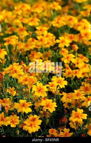Tagetes Tenuifolia 'tangerine Gem' signata pumila Signet French Marigold orange flower bloom blossom annual plant