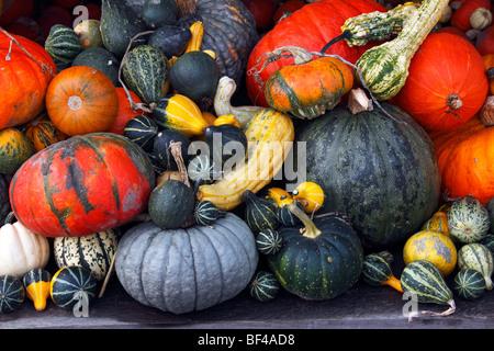 Pumpkins, cucurbits, marrows, gourds (Cucurbita pepo) - Stock Photo