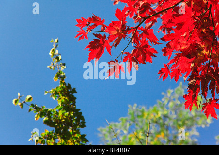Colorful autumn leaves on a tree in sunny weather - Stock Photo