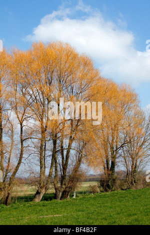 Salix fragilis the Crack Willow showing the pale orange canopy in late winter - Stock Photo