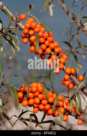 Sea Buckthorn (Hippophae rhamnoides) with ripe fruit Stock Photo