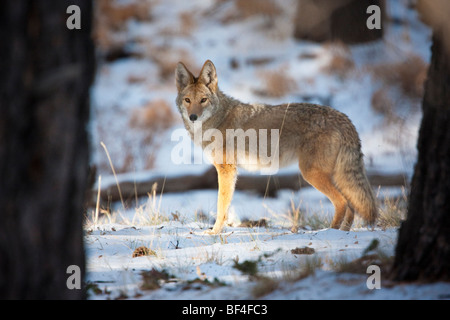 Coyote (Canis latrans) in the snow at sunrise, Grand Canyon National Park, North Rim, Arizona, USA - Stock Photo