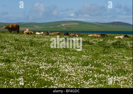 Meadow with grazing cows, Orkney Islands, Scotland, United Kingdom, Europe - Stock Photo