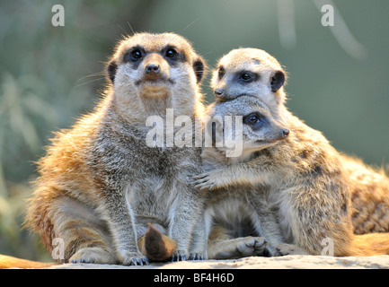 Meerkats (Suricata suricatta), parent and two young, embrace - Stock Photo