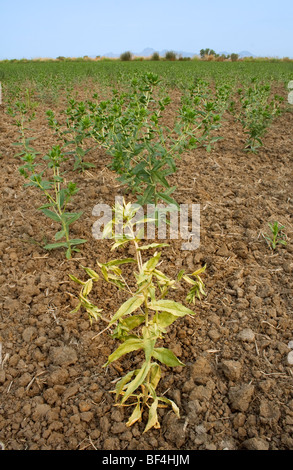 A dryland safflower crop that was dependent on spring rain that didn't arrive for germination suffers from drought - Stock Photo