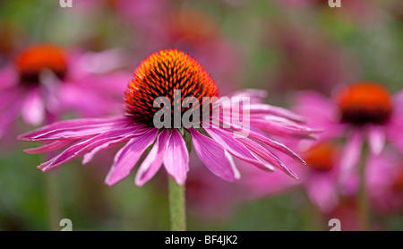 Close up of Echinacea Purpurea in soft summer sunlight - Stock Photo