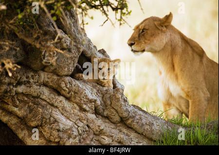 Cute Lion Cub in tree Portrait - Stock Photo