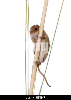 Harvest Mouse, Micromys minutus, perched on grass in front of white background, studio shot - Stock Photo