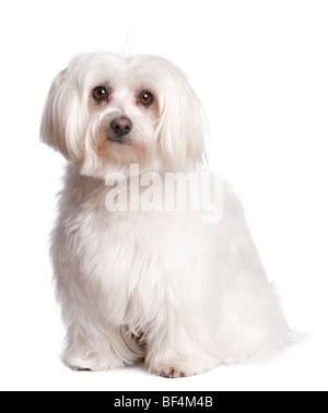 Portrait of maltese dog in front of white background, studio shot - Stock Photo