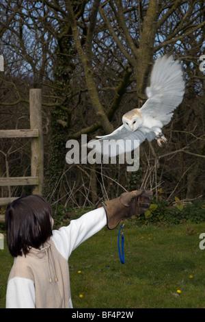 Barn Owl; Tyto Alba; captive bird landing on handler