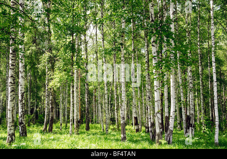 summer birch forest landscape view - Stock Photo