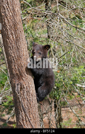 American Black Bear (Ursus americanus). Spring cub (4 months old) climbing a tree to be secure. - Stock Photo