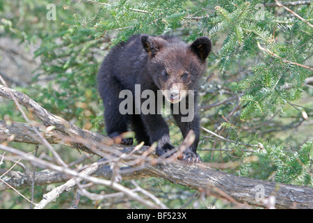 American Black Bear (Ursus americanus). Spring cub (4 months old) secure in a tree. - Stock Photo