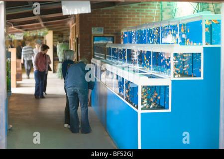 Fish Sales; varieries of Goldfish (Carassius auratus). Retail sales to the public in a garden centre. - Stock Photo
