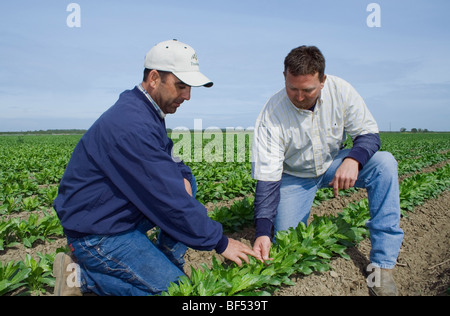 Agriculture - A grower and commodity broker in the field inspecting a crop of early growth safflower / McArthur, - Stock Photo