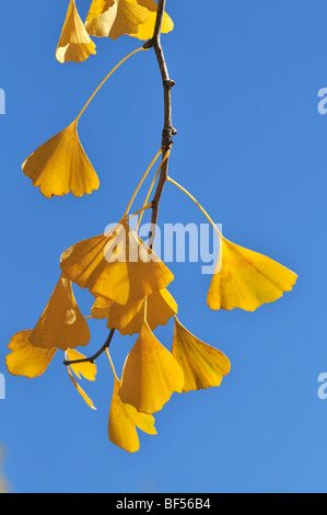 Close up of ginkgo leaves in the fall over blue sky - Stock Photo