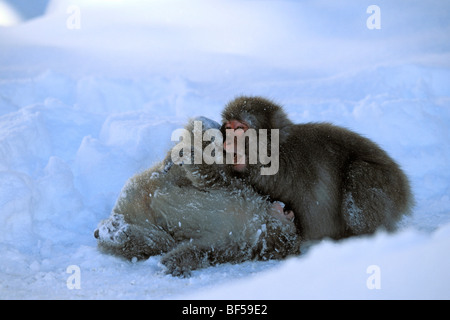 Young Snow Monkeys, Japanese Macaques (Macaca fuscata) playing in snow, snowfall, Japanese Alps, Japan, Asia - Stock Photo