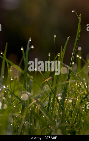 Early morning dew catches the first rays of light looking like natures own street lighting in the undergrowth of - Stock Photo