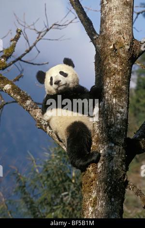 Great Panda (Ailuropoda melanoleuca) climbing tree, Wolong Valley, Himalayas, China, Asia - Stock Photo