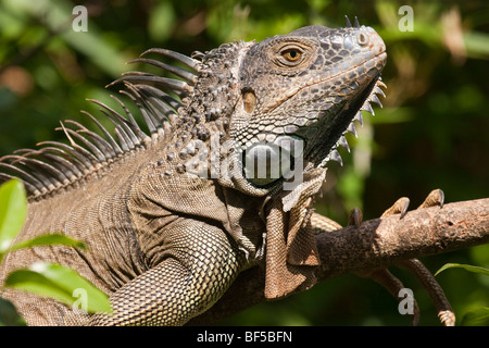 Green iguana in a tree in the rain forest of Costa Rica. - Stock Photo