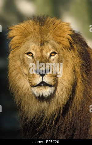 African Lion (Panthera leo), male, portrait, Africa - Stock Photo