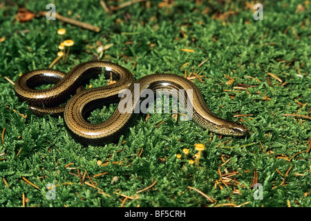 Slow Worm (Anguis fragilis) - Stock Photo