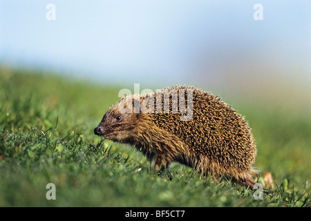 European Hedgehog (Erinaceus europaeus) in spring - Stock Photo