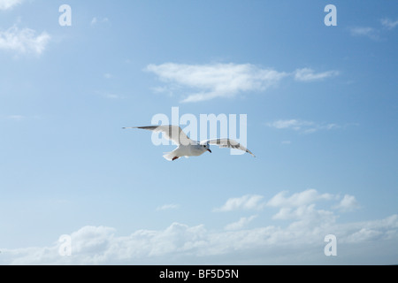 Seagull against a blue sky, Texel, Holland, The Netherlands, Europe - Stock Photo