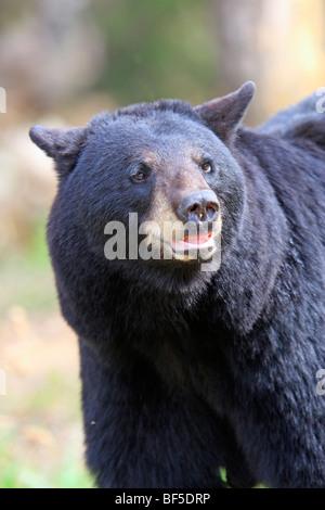 American Black Bear (Ursus americanus). Adult male, portrait. - Stock Photo
