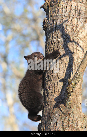 American Black Bear (Ursus americanus). Spring cub (4 month old) climbing a tree to be secure. - Stock Photo