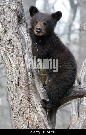 American Black Bear (Ursus americanus). Spring cub (4 month old) sitting secure in a tree. - Stock Photo
