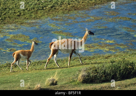 Guanaco (Lama guanicoe) with young, Torres del Paine National Park, Patagonia, Chile, South America - Stock Photo