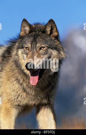 Wolf, Timberwolf (Canis lupus), North America