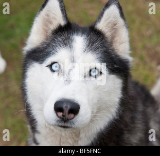 Siberian Husky, Eastern Iceland - Stock Photo