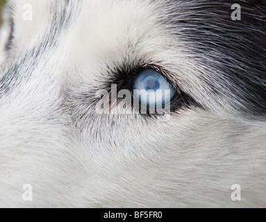 Siberian Husky, Eastern Iceland - Stock Photo