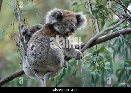 Koala (Phascolarctos cinereus) with baby in Gum Tree, Victoria, Australia - Stock Photo