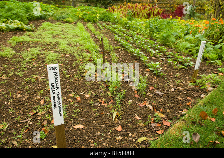 Field beans and Phacelia tanacetifolia sown as a green manure to improve soil fertility, Painswick Rococo Garden, - Stock Photo