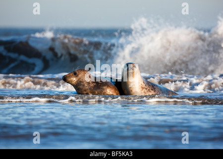 Halichoerus grypus young grey seal pair frolicking in the waves - Stock Photo